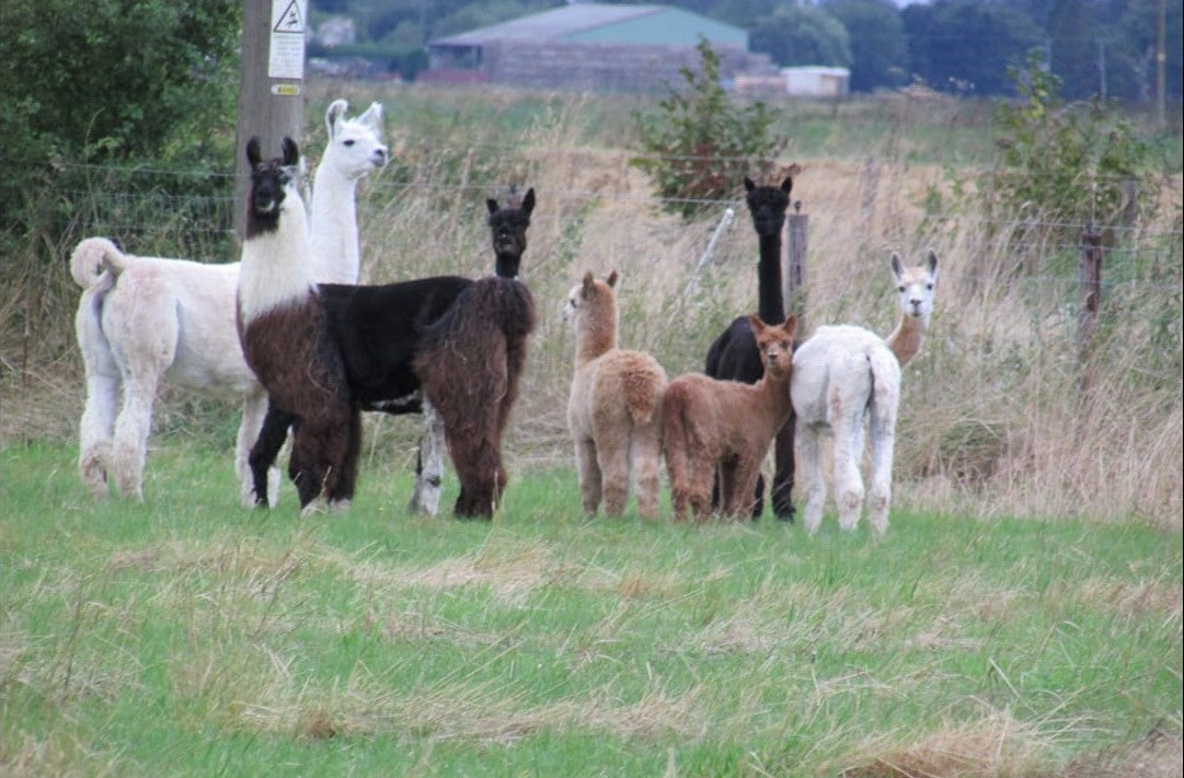 Alpacas and llamas in field