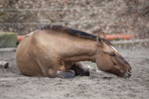 Horse with colic lying down
