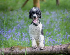 Poodle happy using Joint Aid for Dogs