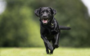 Black Labrador with healthy joints running