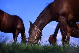 Horses grazing the grass