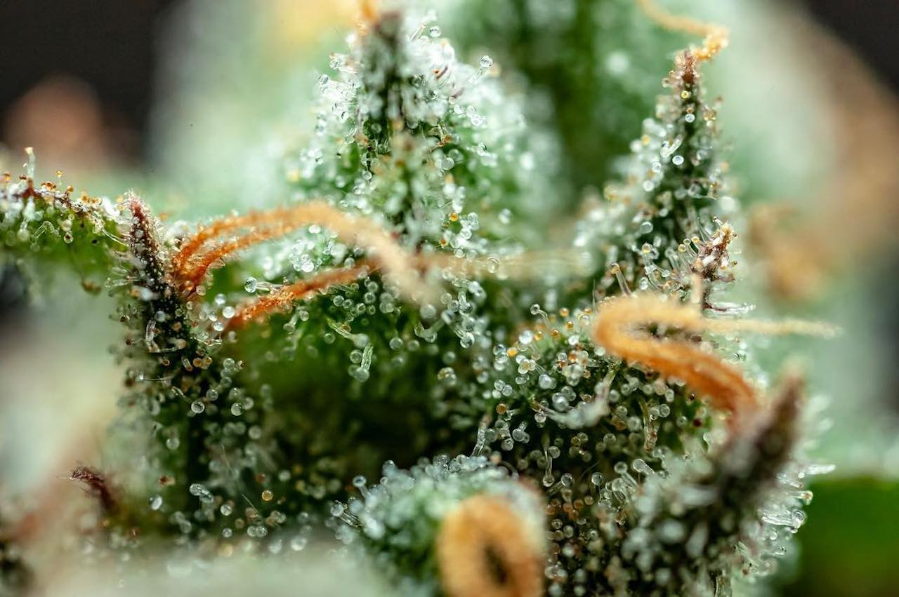 Agent Orange Cannabis Strain (Everything you need to know)