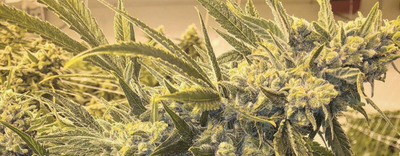 Dream Queen Strain Review - Everything You Need to Know & More!