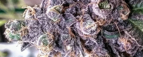 Grand Daddy Purple Strain Review - Everything You Need to Know!