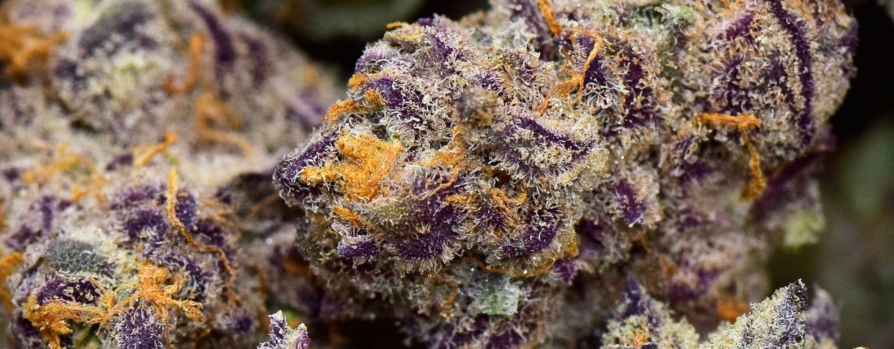 Purple Punch Strain Review - Everything You Need to Know and More!