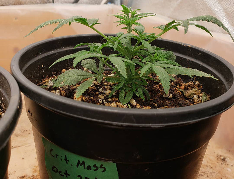 Critical Mass seedling, image from CannaFox Grows Cannabis on Instagram