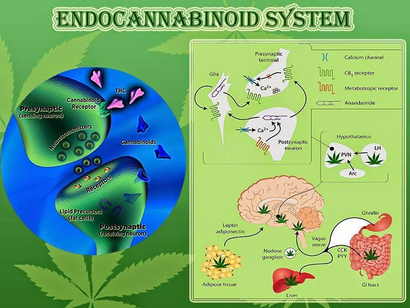 Endocannabinoid system, image from Eucalov This on Instagram