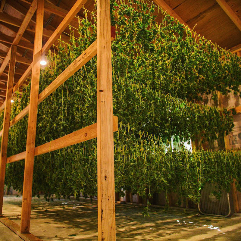 Racks of drying pot plant branches, image from Fresh Off the Hill Farm on Instagram