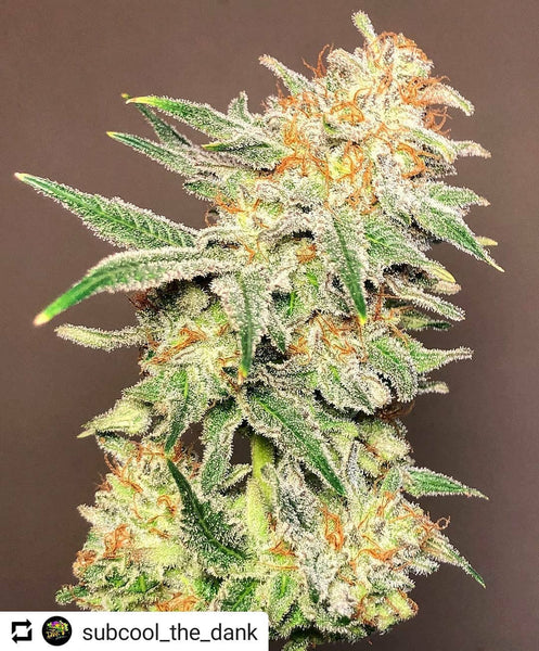 Chernobyl Strain Review - Everything You Need to Know & More! – Weed