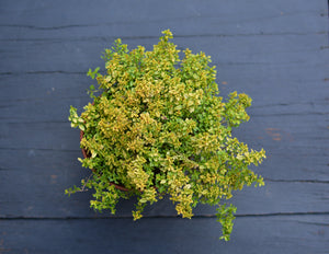 Thyme 'Archers Gold'