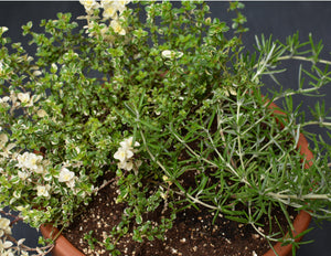Rosemary & thyme classic planter