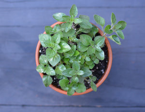 Greek Oregano Herb Pot