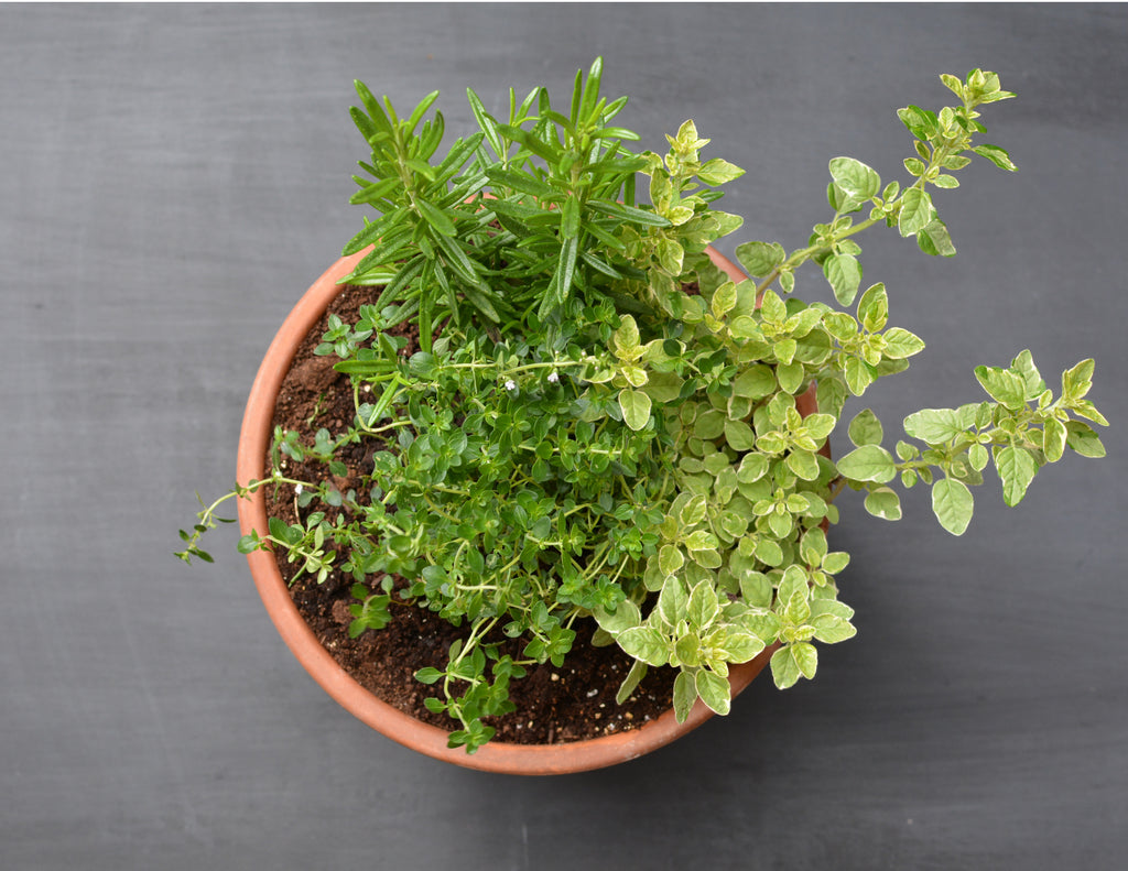 Mediterranean cooking mixed herb planter