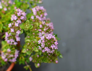 Rose-scented thyme
