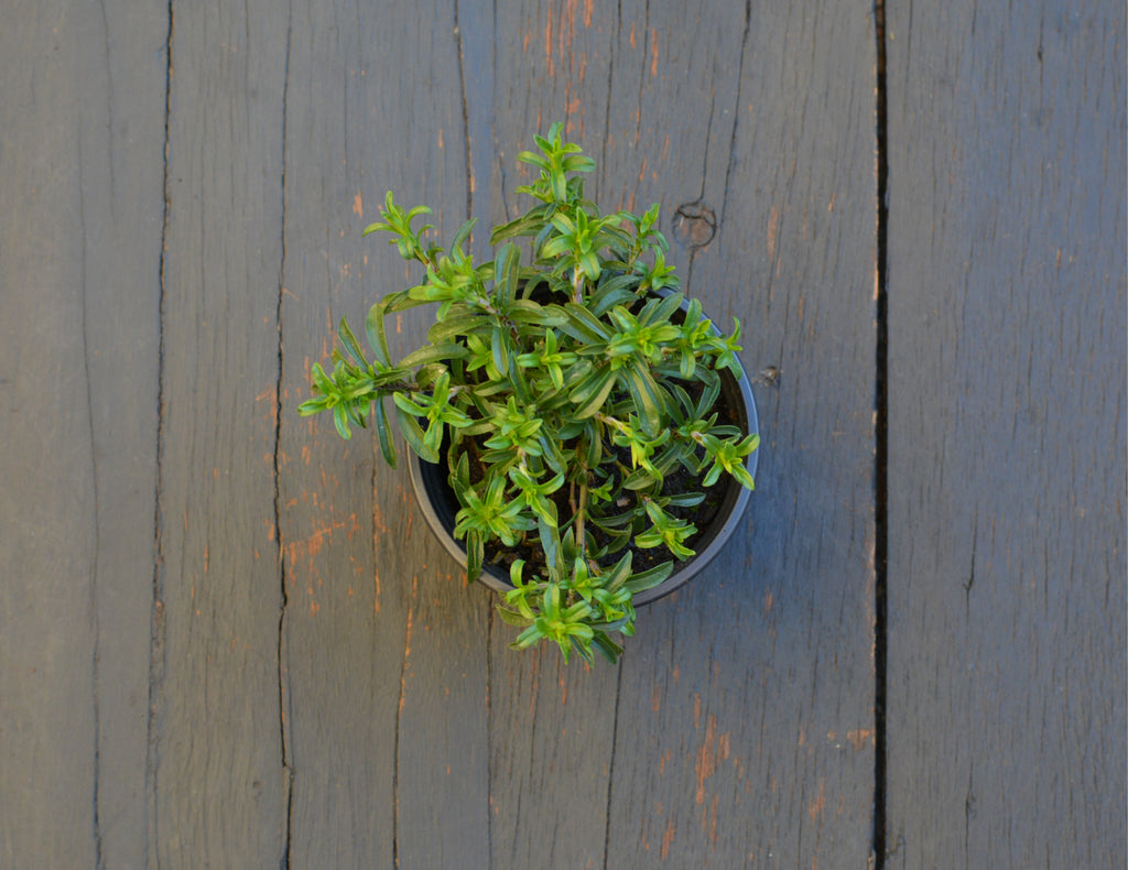 Winter Savory