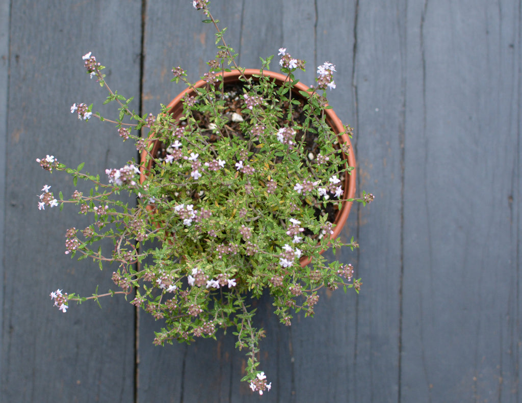 Orange-scented thyme