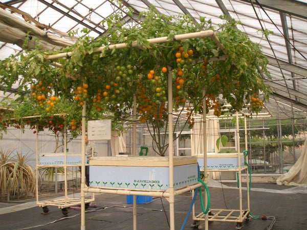 Home Hyponica 303 - Oranges