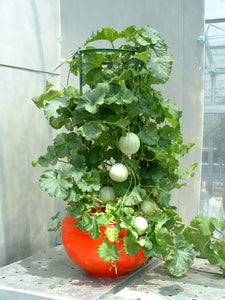 Home Hyponica 601 Tomato - Honeydew