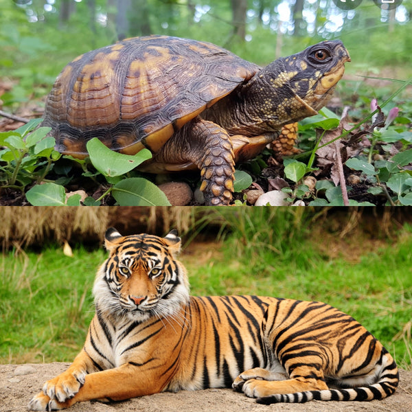 Are You a Turtle or a Tiger?  Time to Choose.
