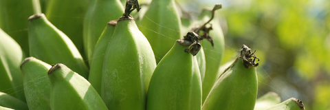 unripe bananas - source of resistant starch