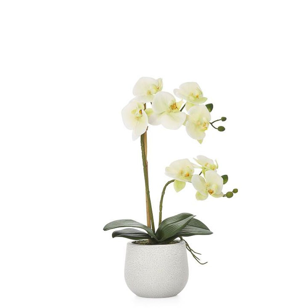 Phalaenopsis Potted 18