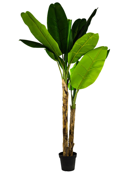 Large Ornamental Banana Tree with two trunks in Black Pot