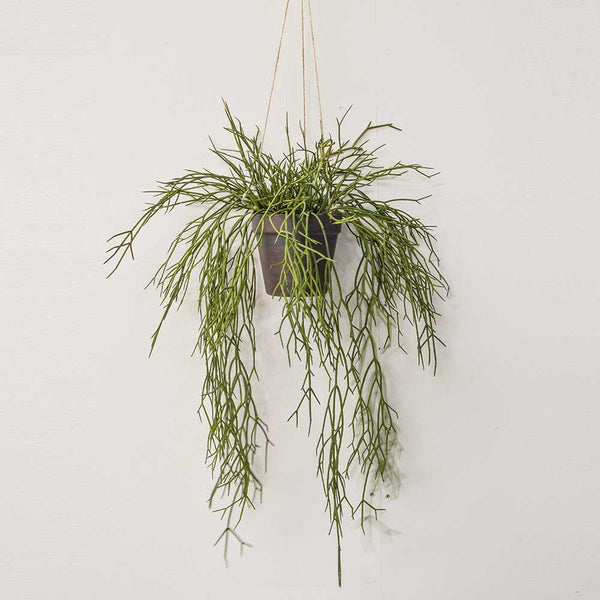 55cm Grass Hanging in Pot