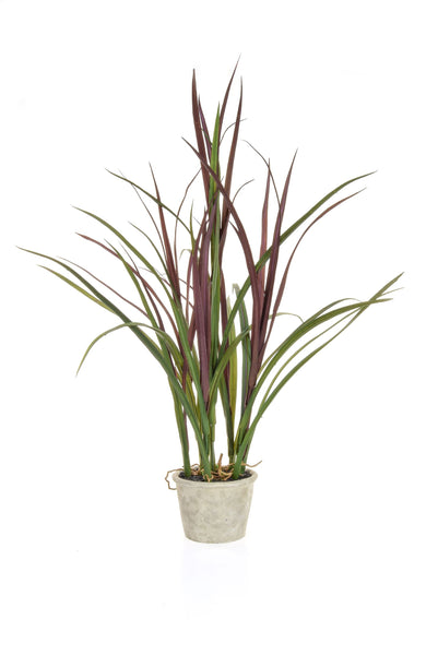 Grass Plant with Burgundy and Green Leaves