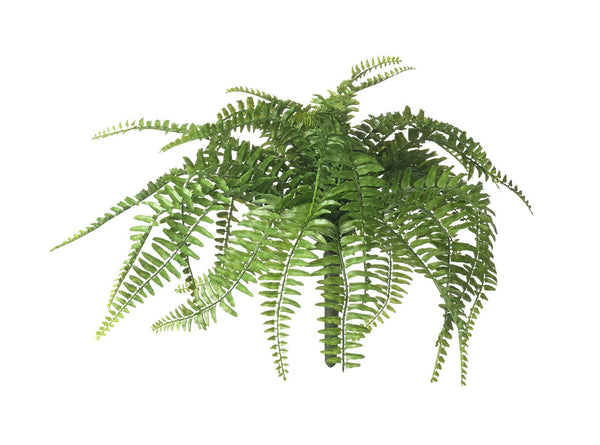 BOSTON FERN STEM