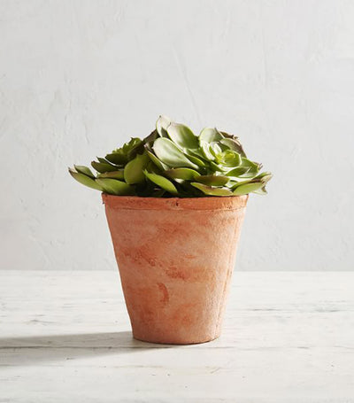 Pottery Barn Potted Echeveria Succulent - Small