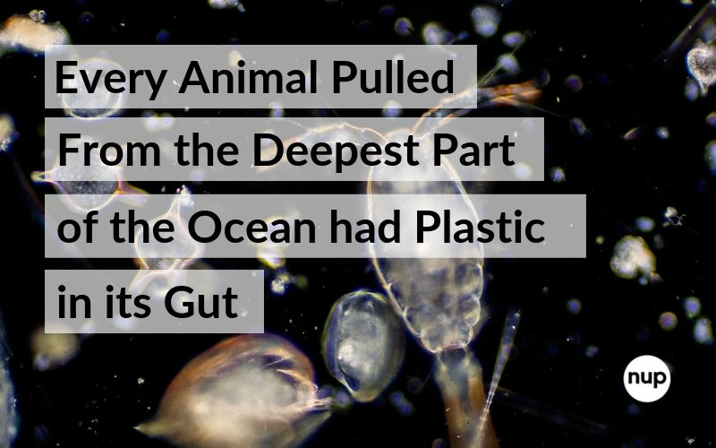 Every Animal Pulled From the Deepest Part of the Ocean Had Plastic in Its Gut