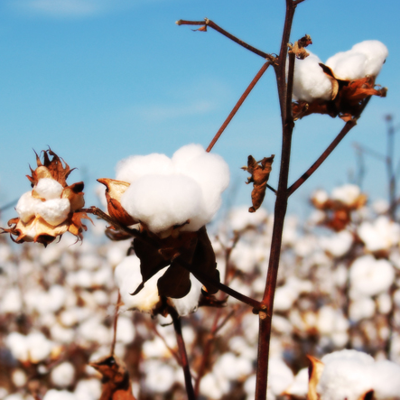 Cotton in its natural form