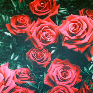 Backdrop - Red Roses