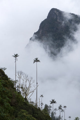 Wax palms from the Valley of Cocora in Colombia