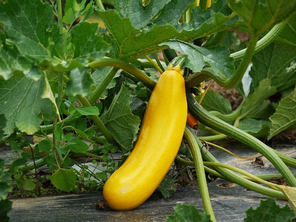 Yellow Squash (3 count)