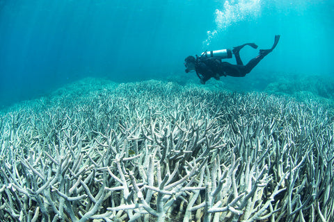 Man scuba diving over bleached coral caused by climate change on the Great Barrier Reef