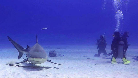 Scuba Diving with Bull Shark off of Great Barrier Reef