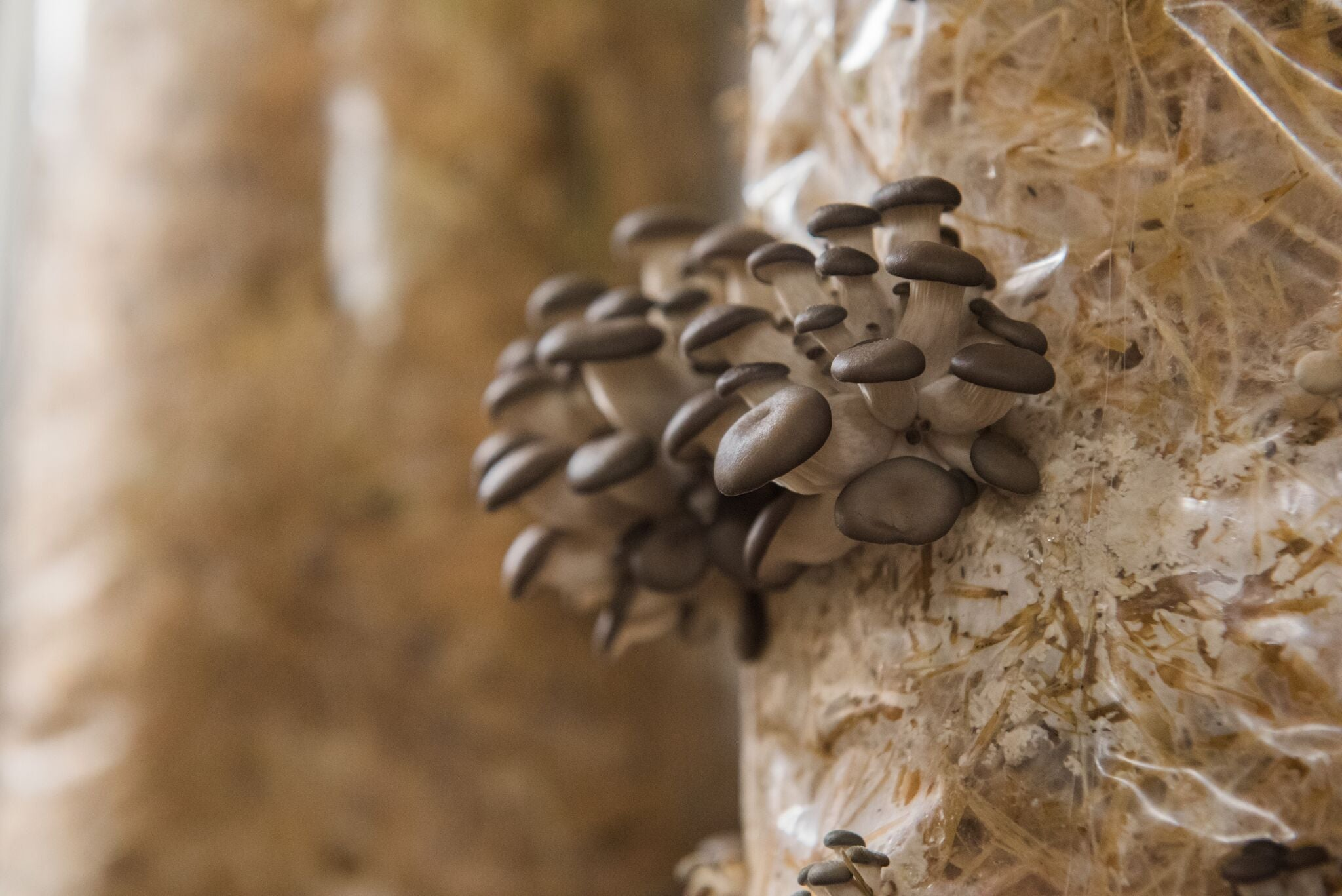 Functional Mushrooms: The beauty of Shiitake