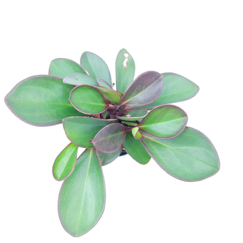 Peperomia Obtusifolia 'Red Edge'