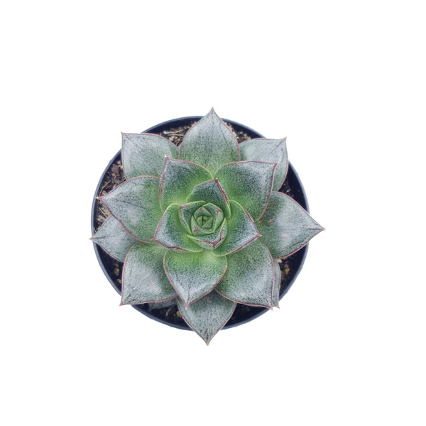 Echeveria Purpusorum Rose A.Berger