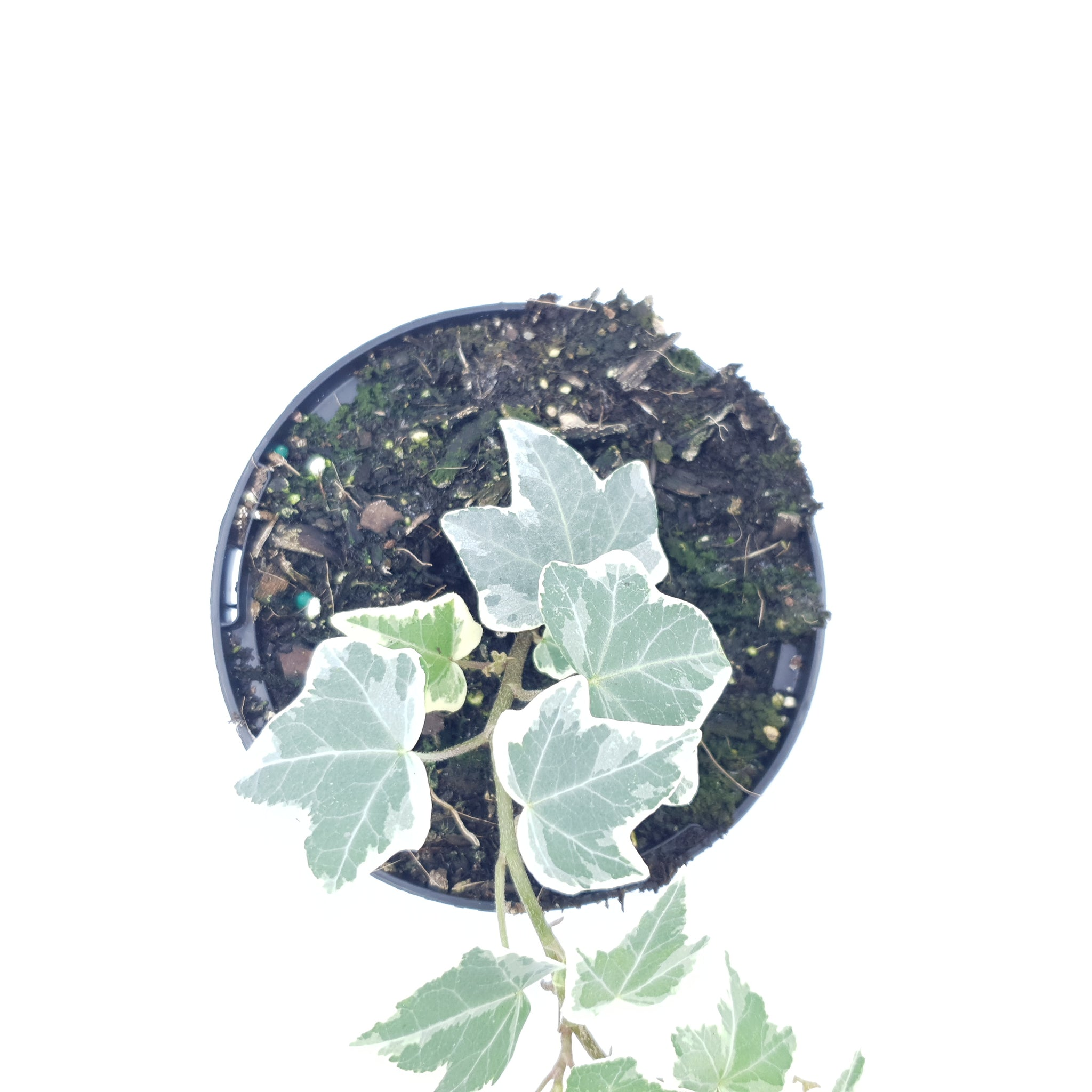 English Ivy Variegated