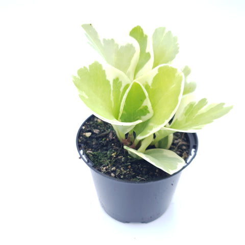 Peperomia Magnoliifolia Variegated (cv. green & gold)