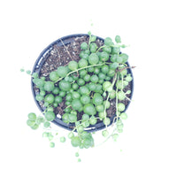 Senecio String of Pearls