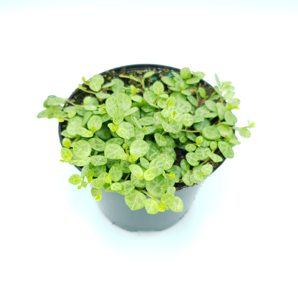 Peperomia Rotundifolia 'Jade Necklace / String of Turtles'