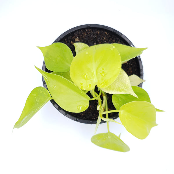 Philodendron Cordatum Lime Gold (Neon)