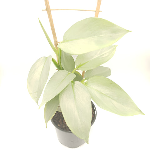 Philodendron 'Grey Silver Sword'