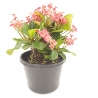 Euphorbia Milii 'Crown of Thorns / Christ Plant / Christ Thorn'