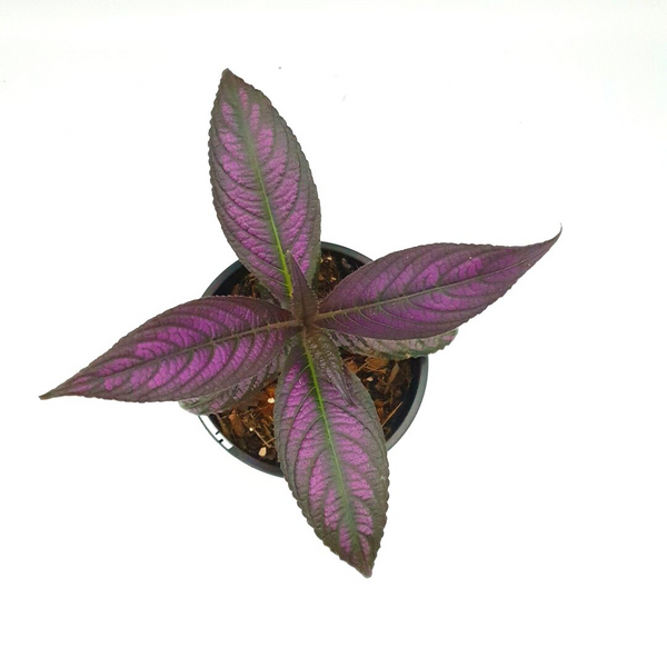 Strobilanthes auriculatus 'Persian Shield'