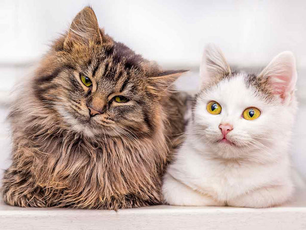 How to Introduce New Cats to Each Other | A blog by Mau | Cat Furniture | Cat Trees | Caves & Beds |