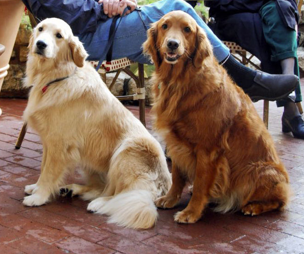 golden_retriever_gama_color